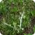 Albugo candida on Capsella bursa-pastoris. Locality: England, Aylesbury.