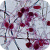 Phytophthora parasitica sporangia
