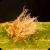 Picture of Pyrenophora tritici-repentis
